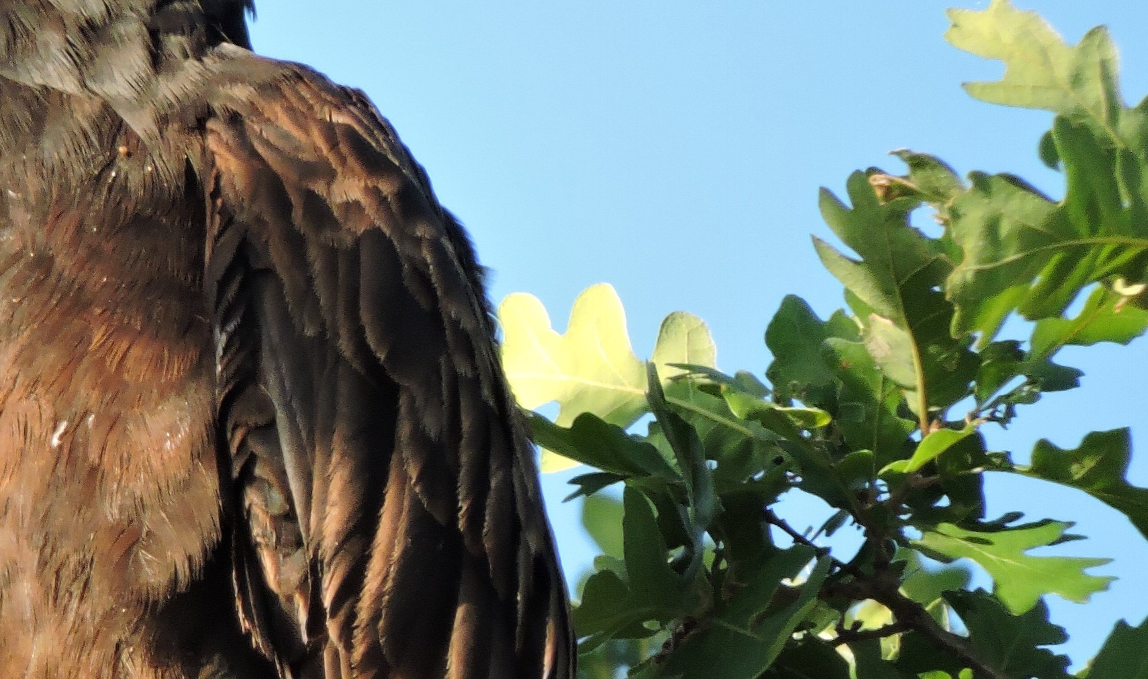 Sierra Vista - Turkey Vulture - CS - 05-13-2014-200337-edited