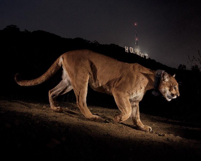 cougar-in-hollywood-steve-winter-1