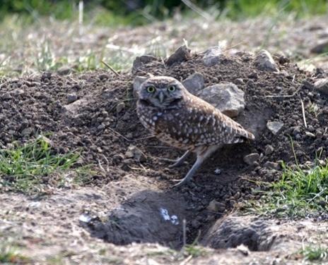 Burrowing Owl-s-048501-edited.jpg
