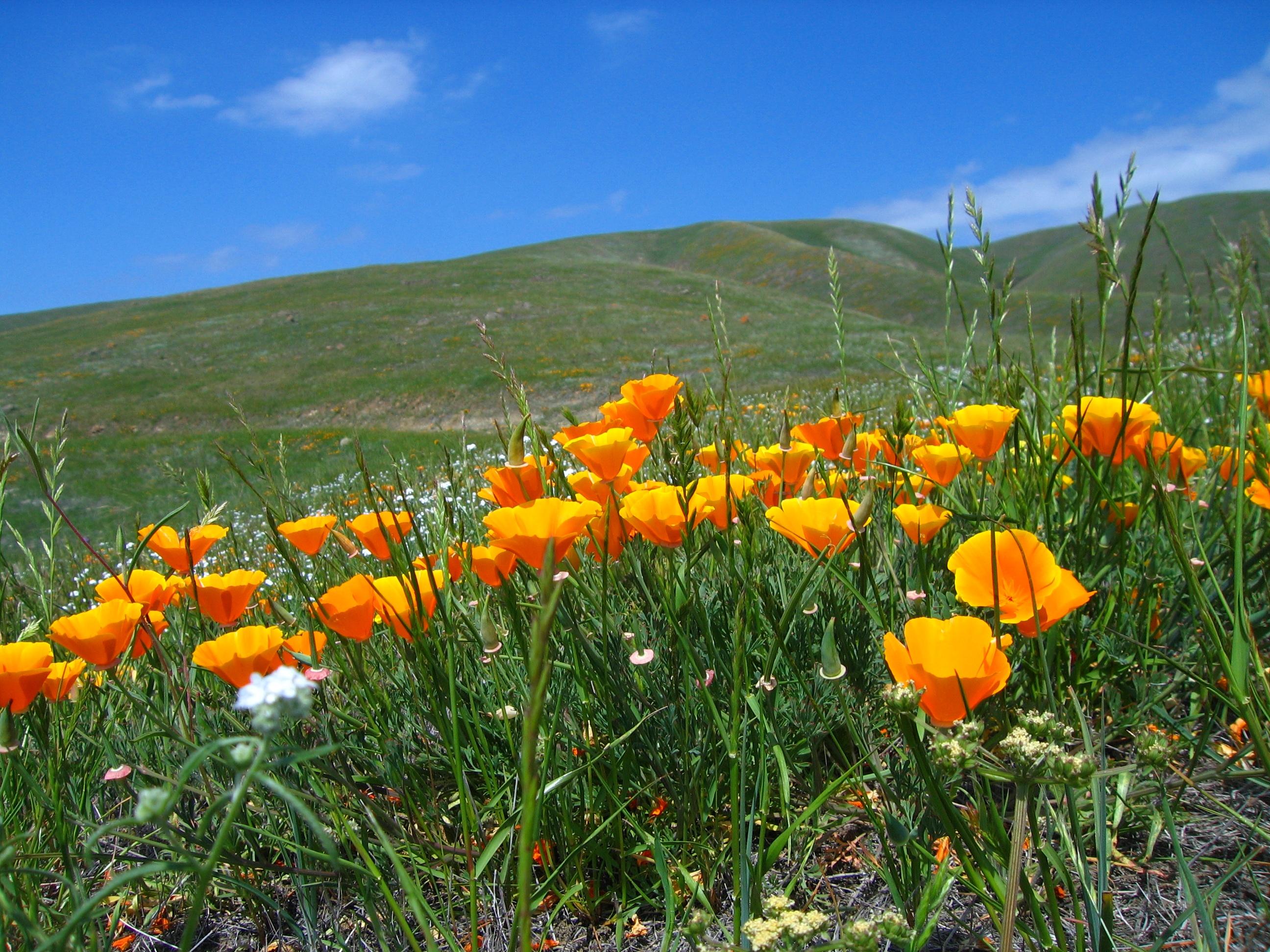 Coyote Ridge OSP - California Poppy - CH - APR-26-2012 - 1.jpg