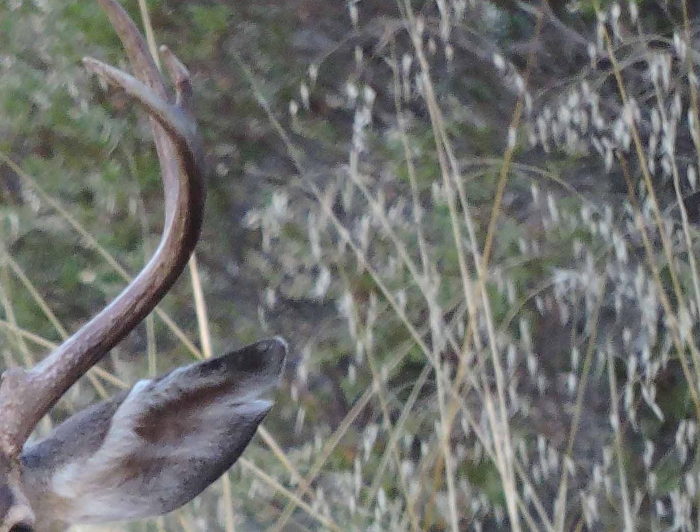 Deer - CS - 11-13-2014-120142-edited.jpg