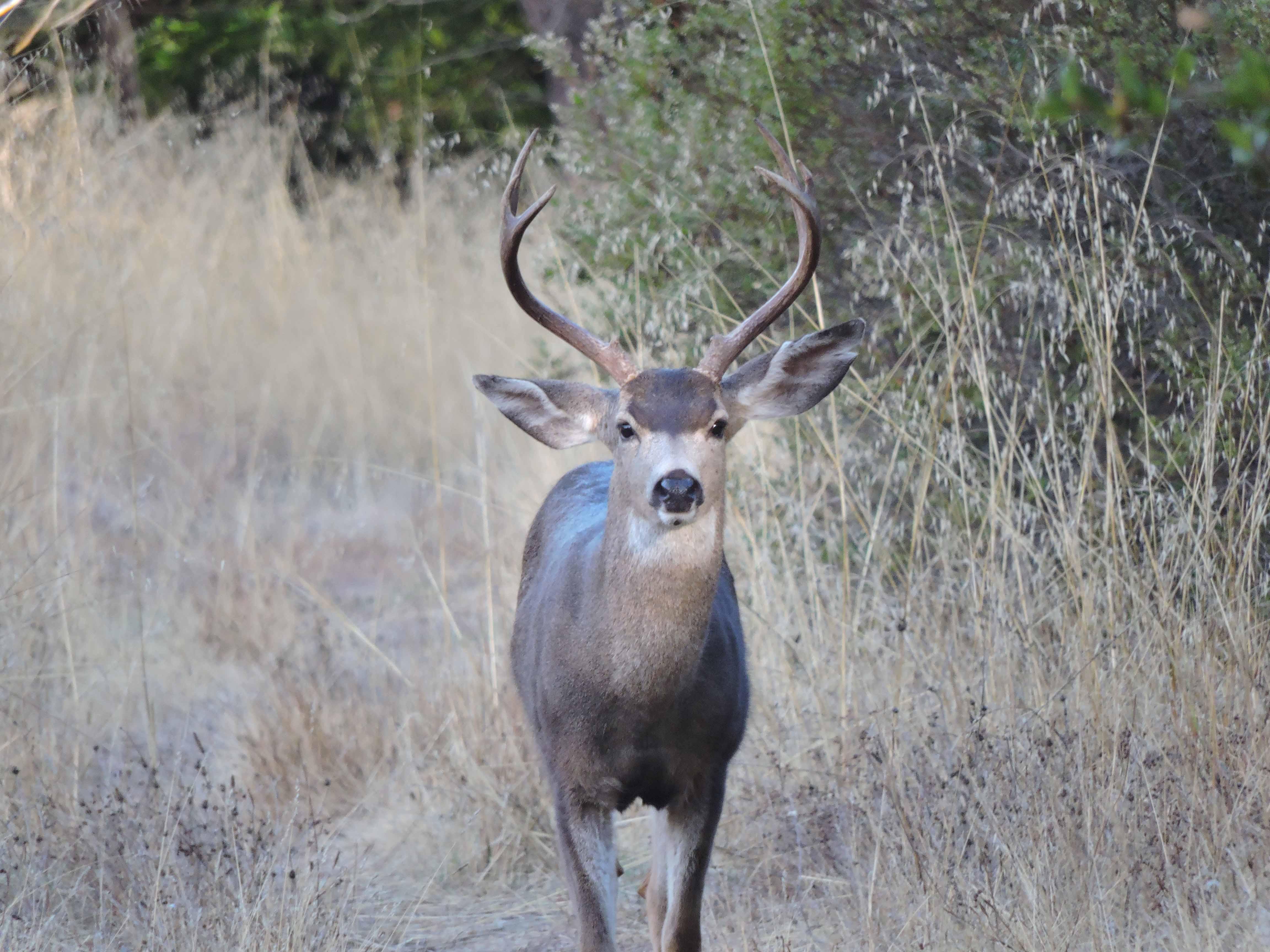 Deer - CS - 11-13-2014.jpg