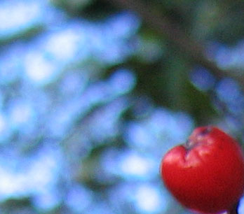 Toyon_crop.jpg