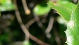 coast live oak leaf-049522-edited.jpg