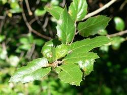coast live oak leaf.jpg