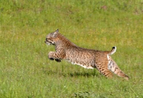 bobcat leaping - OSA - 05-04-2012.jpg