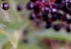 elderberry_ccAndyRogers-472384-edited