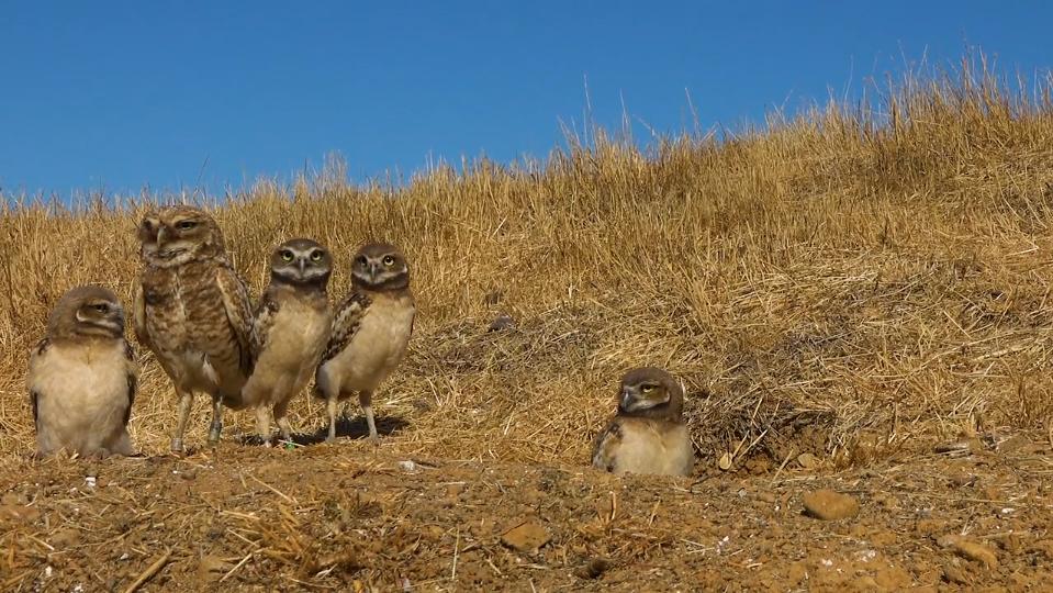 Owl film