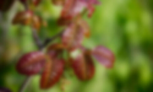 poison-oak-blur-2