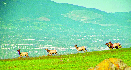 tule elk cityscape