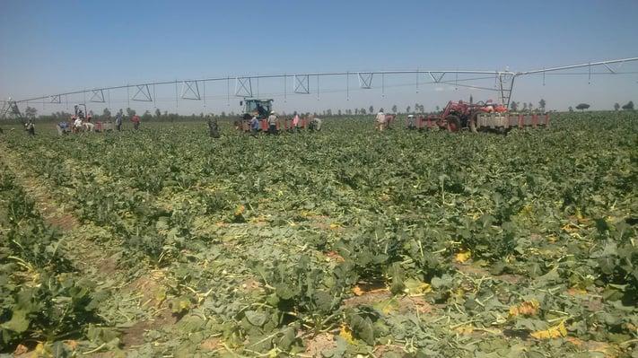 Colheita de bróculos Multitempo.jpg