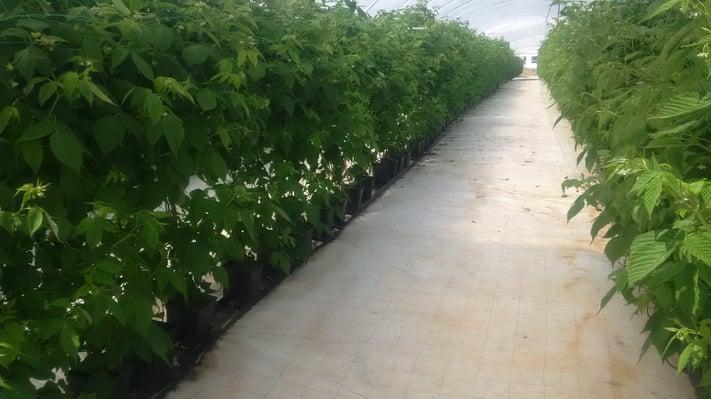 Cultivo e colheita de Framboesas no Algarve Multitempo.jpg
