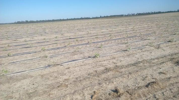 Plantação de Abóbora Multitempo.jpg