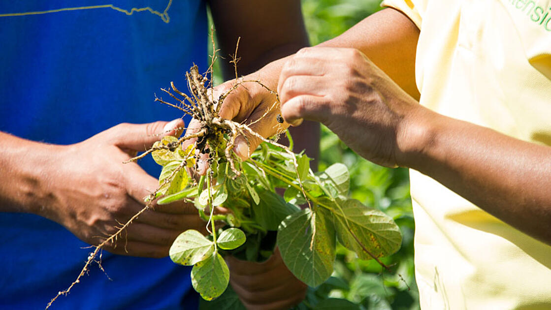 Hand holding soybean plant with roots up