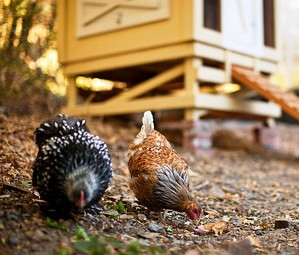 Farmhouse Inn Chickens
