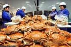 Preparing boatloads of dungeness Crab