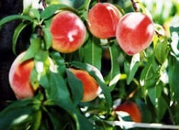 Dry Creek Peaches
