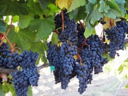 Grapes ripening in Sonoma