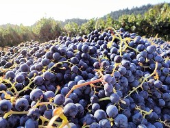 Grape Harvest Merlot