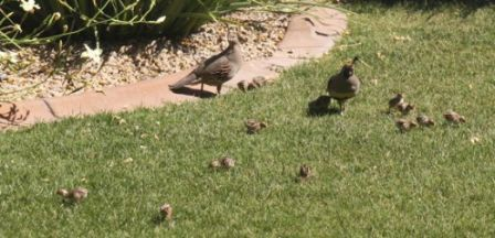 Quail and babies