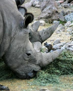 white rhinos with squirrel