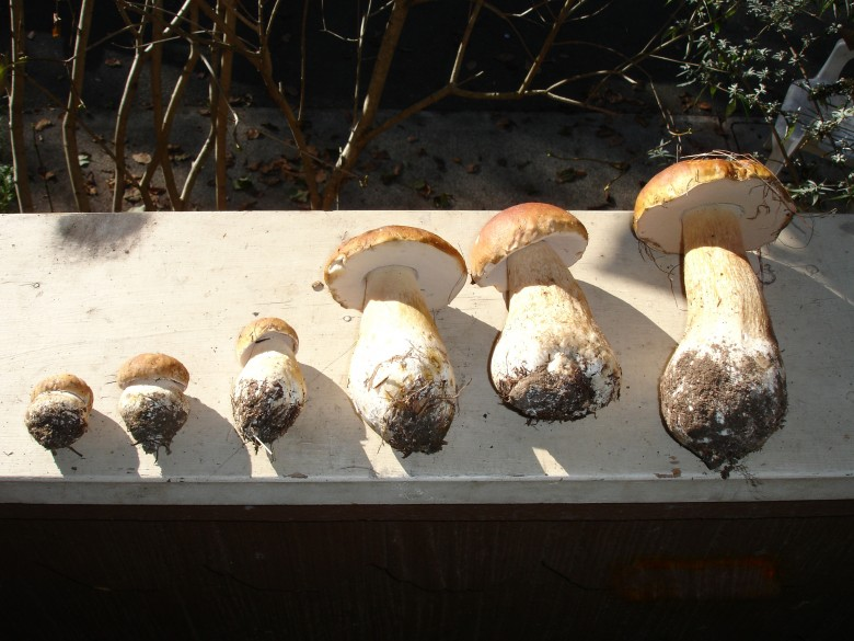 Sonoma Coast Porcini Mushrooms