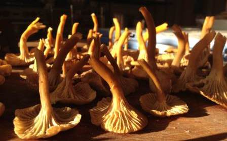 Sonoma County Wild Yellowfoot Mushrooms