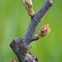 budbreak in Sonoma County