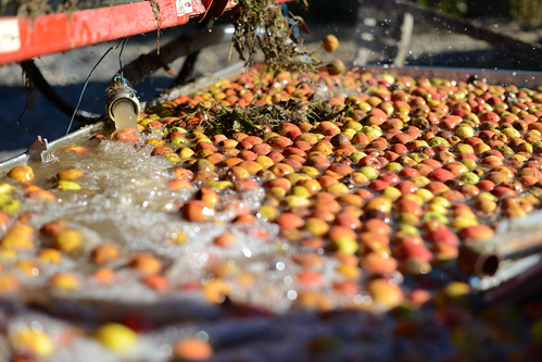 Photo of apples being cleaned at Ferme De Billy in Normandy France