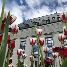 A row of red and white tulips in front of a grey building and blue and white clouds.