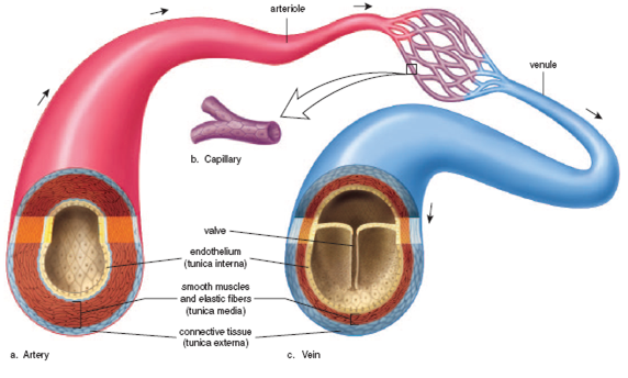 how is the structure of arteries and veins adapted for their function The arteries are the large blood vessels that carry blood from the heart to all the  organs and  opening and closing different arteries affects your blood pressure.
