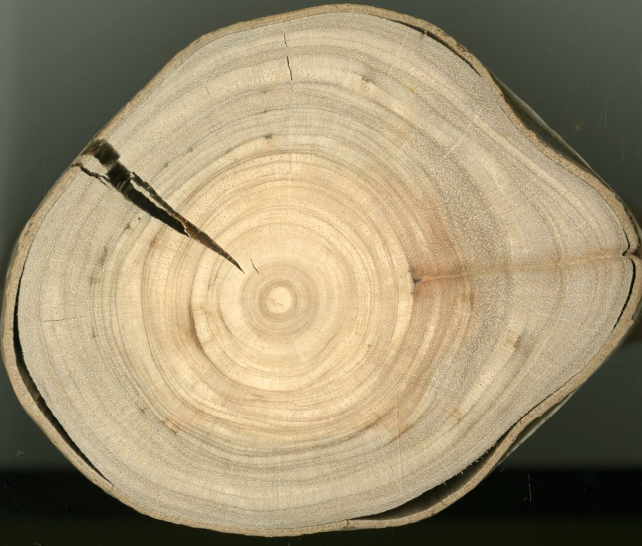¿Qué es la dendrocronología y cómo pueden los árboles predecir el futuro?