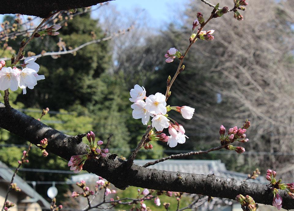 2017年 桜開花だより