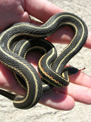 rexburg idaho snake house. garter snake