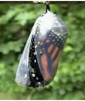 Butterfly waiting in chrysalis