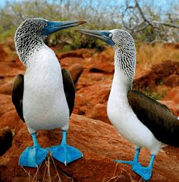 Pair of Booby Seabirds