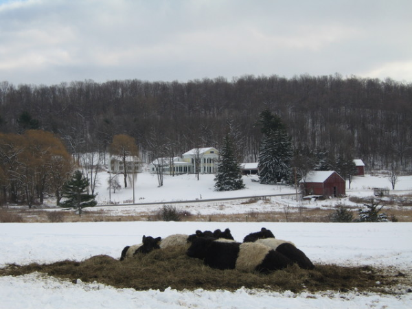 Cows in Vermont Winter resized 600