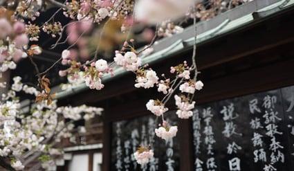 cherry-blossoms-in-osaka-japan