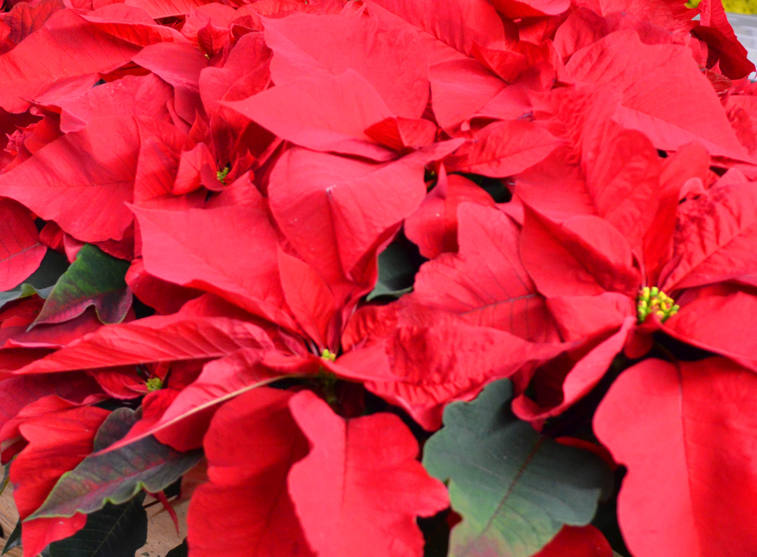 Is Poinsettia Poisonous To Cats 2018 Funny Cats