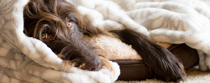 brown-dog-snuggled-in-his-bed-with-a-blanket-in-front-of-the-fire_t20_oEj71k-(1)
