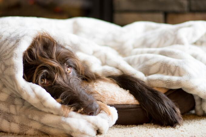 brown-dog-snuggled-in-his-bed-with-a-blanket-in-front-of-the-fire_t20_oEj71k