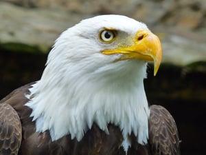 Eagle - tof-mayanoff-204876-unsplash