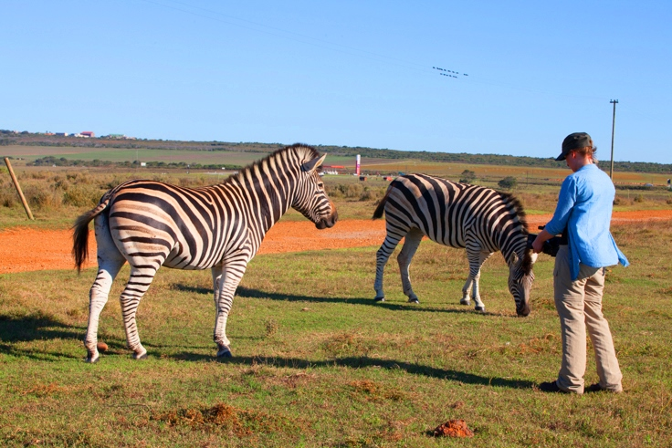Wildlife Film making intern shoots Zebra