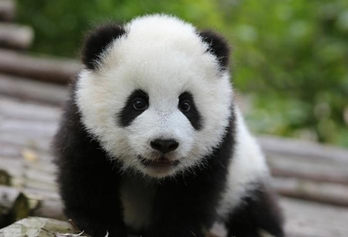 newsletter-decembre-2017-panda