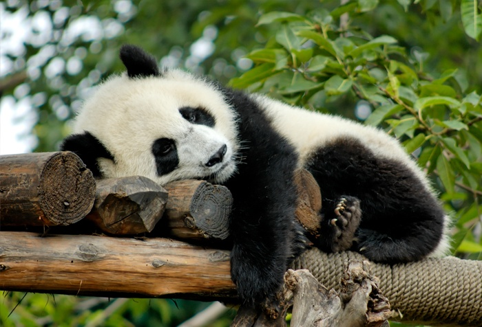 newsletter-janvier-2018-panda