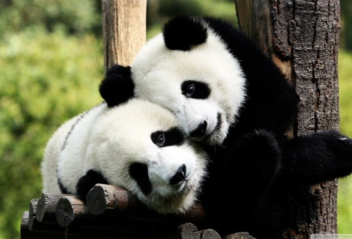 panda-pictures-HD1-1-520948-edited