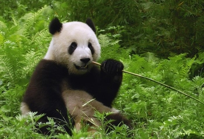 panda-pictures-aout-038919-edited-377270-edited