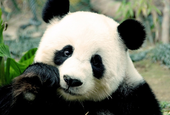 panda-pictures-septembre-027155-edited