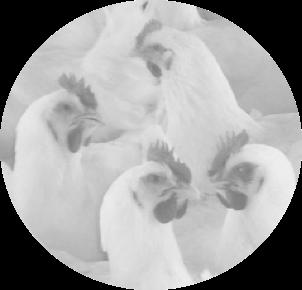 caso de exito- Pollos Caribeños