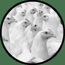 Refrigeración industrial de aves